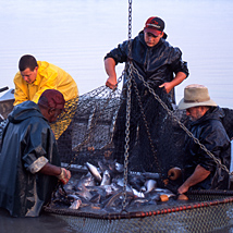 Workers haul basket of catfish