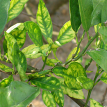Orange tree leaves with some symptoms of citrus greening