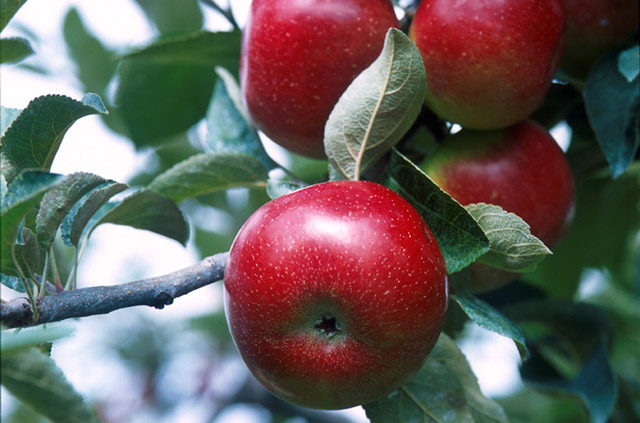 Empire apples on branch
