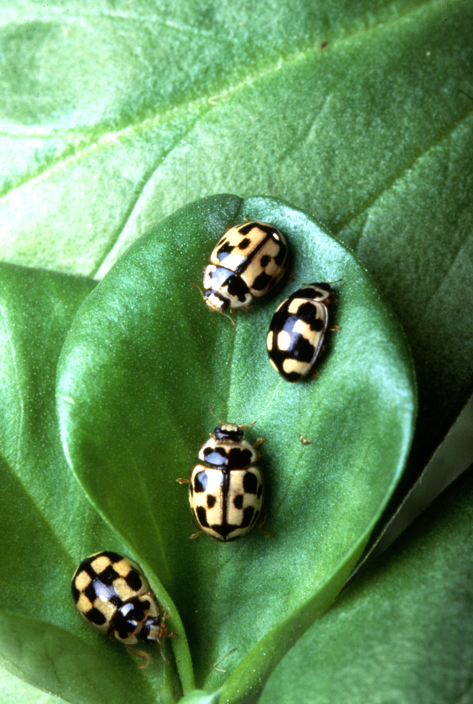 Small black spotted beetles in house -  14 Spot Lady Beetles On Fava Bean Leaf Link To Photo Information