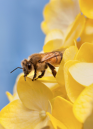 Photo: Honey bee on a flower. Link to photo information
