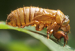 Photo: Cicada nymph. Click the image for more information about it.