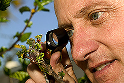 Research leader David Hall observes ladybugs preying upon pink hibiscus mealybugs: Link to photo information