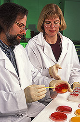 Microbiologist Jeffrey Karns and animal scientist Jo Ann Van Kessel isolate Salmonella bacteria from petri plates inoculated with fecal samples: Link to photo information