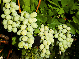 Clusters of ripe Autumn King grapes hang on a grapevine. Link to photo information