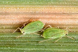 Two greenbug aphids feeding on an oat leaf infected with yellow dwarf disease. Link to photo information