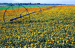 Photo: A field of safflowers. Link to photo information