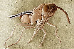 Electron microscope image of parasitic wasp T. zealandicus: Link to photo information
