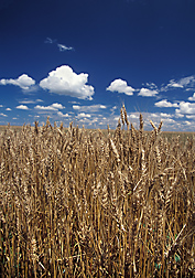Photo: Wheat growing in a field. Link to photo information