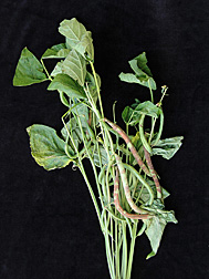 Photo: Snap bean pods showing symptoms of chocolate pod. Link to photo information