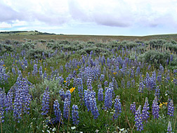 Photo: Tailcup lupine (Lupinus caudatus). Link to photo information