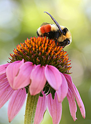 Photo: Hunt's bumble bee, Bombus huntii, a native to the intermountain west, on a coneflower. Link to photo information