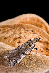 Photo: Adult navel orangeworm moth (Amyelois transitella) on an almond. Link to photo information