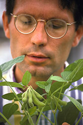 Plant molecular biologist Mark Tucker examines the pod set of a healthy soybean plant.