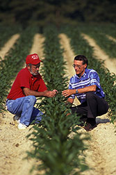 Plant geneticist Charles Stuber (right) and technician Wayne Dillard examine plants grown from a hybrid cross.