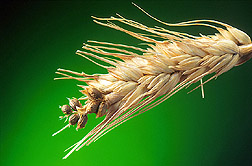 Wheat spike infected by TCK: Link to photo information