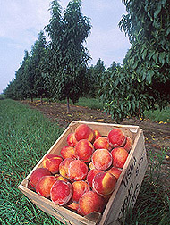 Crate of harvested peaches. Link to photo information