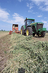 A row of wilted, chopped, green alfalfa is collected into a wagon before being taken to the silo. Click the image for additional information about it.