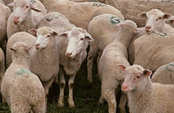 Flock of sheep: Link to photo information