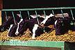 Holstein dairy cows.