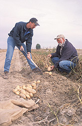 Photo: Geneticist Rich Novy (left) and plant pathologist Dennis Corsini dig up a single plant of the Alturas variety. Link to photo information