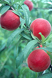 Photo: Gulfking peaches. Link to photo information