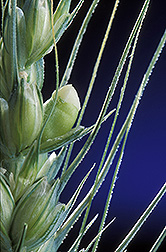 Close-up of ripening wheat grains. Link to photo information