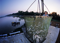 Catfish producer stands beside net full of freshly harvested fish. Link to photo information