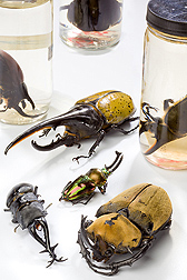 Photo: Beetle specimens, all of which are foreign to the U.S. Link to photo information
