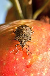 Photo: Brown marmorated stink bug (Halyomorpha halys) on a honey crisp apple. Link to photo information
