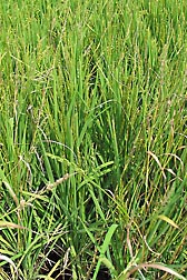 Photo: A new high quality, long-grain rice cultivar with a natural ability to stand up to barnyardgrass and other weeds. Link to photo information
