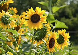 Photo: Wild annual sunflower Helianthus annuus. Link to photo information