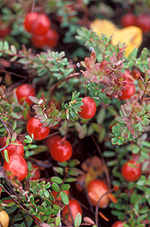 Cranberries growing on a bush. Link to photo information