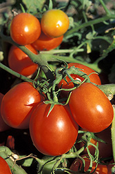 Photo: A group of Roma or plum tomatoes on the stem. Link to photo information