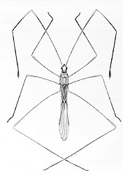 Photo: Drawing of a stilt bug. Link to photo information