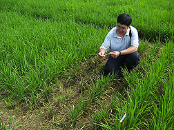 Yulin Jia samples a rice field in Colombia for presence of rice blast disease. Link to photo information