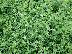 Alfalfa growing in a field
