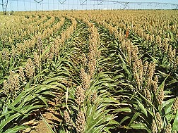 Photo: Rows of an early maturing sorghum hybrid. Link to photo information