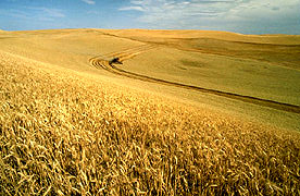 Photo: Wheat being harvested on the Palouse. Link to photo information