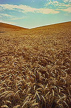 Photo: Ripening wheat on the Palouse hills of Washington. Link to photo information