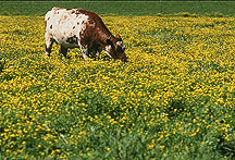 Cow grazes in pasture of yellow-flowered birdsfoot trefoil: Link to photo information