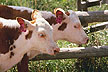 Hereford twins