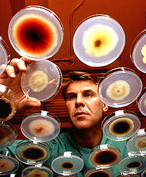 ARS plant pathologist Rick Bennett examines fungi in petri dishes.