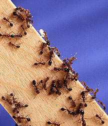 Photo: Fire ants swarming on a wooden stick. Link to photo information