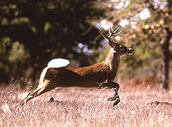 Photo: White tail deer. Link to photo information