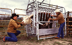 Photo: Entomologist Elmer Ahrens (left) and animal caretaker Adolfo Pena inspect for cattle fever ticks. Link to photo information
