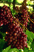 Photo: Red seedless grapes. Link to photo information