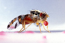Medfly that ingested photoactive red dye