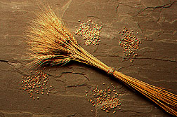 Bundle of wheat stems and seed heads surrounded by small piles of different kinds of wheat kernels. Link to photo information