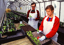 Photo of horticulturist Susan Bentz and gardener Thomas Abell as they plant cuttings from disease-tolerant elms.